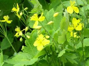 На фото желтые цветки чистотела, и его характерные листья