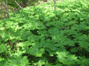 На фото заросли подофилла с характерными листьями